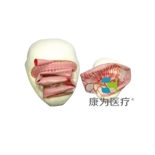 """""""康为医疗""""成人腹腔小肠吻合术训练模型"""