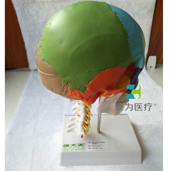 """""""康为医疗""""自然大彩色头骨带颈椎模型"""