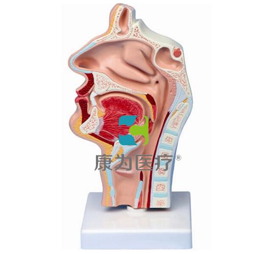 """""""康为医疗""""鼻腔、口腔、喉、咽正中矢状切面模型"""