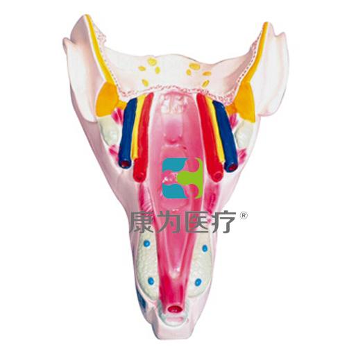 """""""康为医疗""""咽喉壁肌模型"""