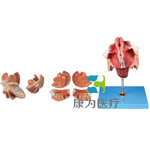 """""""康为医疗""""女性生殖器官结构模型"""