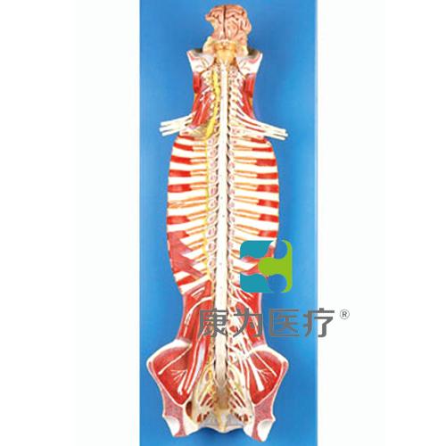 """""""康为医疗""""椎管内部脊髓神经模型"""