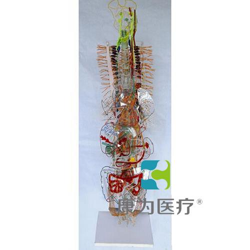 """""""康为医疗""""植物性神经立体模型(附总论)"""