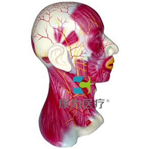 """""""康为医疗""""颈部浅层肌肉血管神经模型"""
