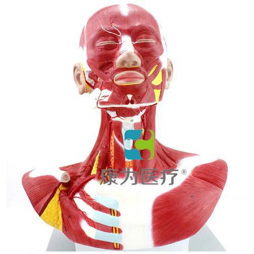 """""""康为医疗""""人体头颈胸肌肉解剖模型"""