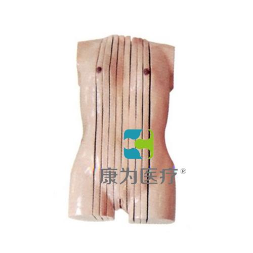 """""""康为医疗""""女性人体躯干矢状断层解剖模型"""