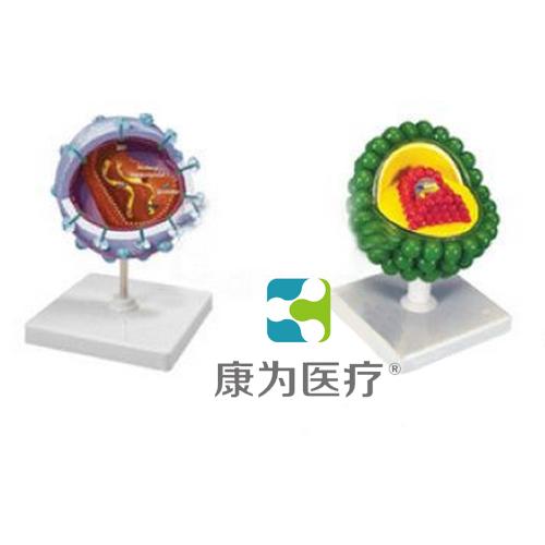 """""""康为医疗""""艾滋病毒模型"""