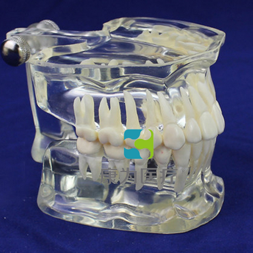 """""""康为医疗""""牙齿标准模型"""