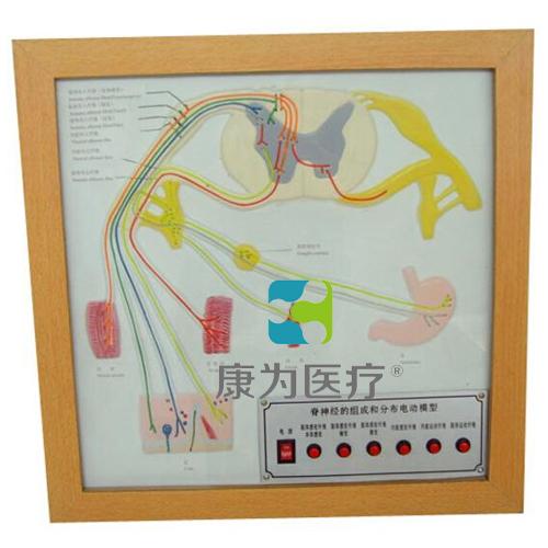 """""""康为医疗""""脊神经的组成和分布电动模型"""