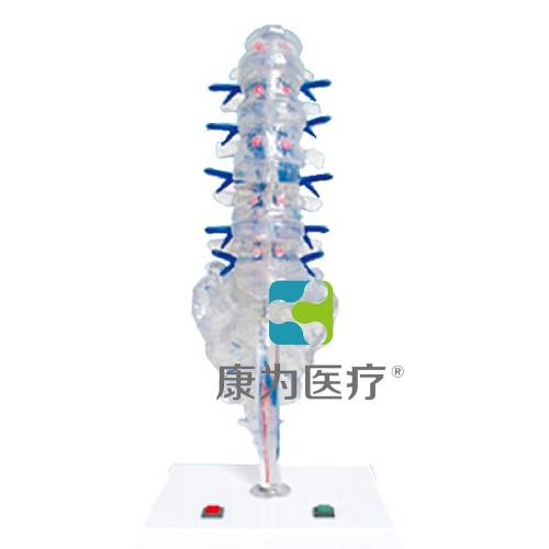 """""""康为医疗""""腰骶椎椎间盘和脊神经电动模型"""