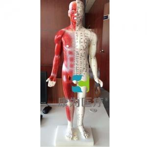 """""""康为医疗""""人体针灸模型84CM"""