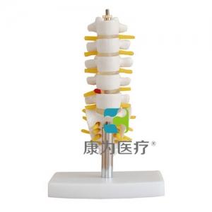 """康为医疗""小型腰椎带尾椎骨模型"