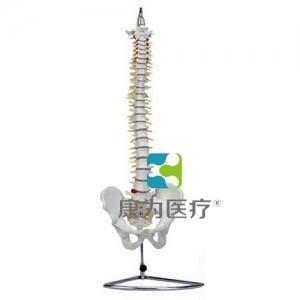 """""""康为医疗""""高级自然大脊柱骨带盆骨模型"""