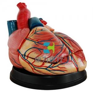 """""""康为医疗""""新型大心脏解剖模型"""