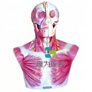 """""""康为医疗""""头部、颈部层次解剖模型"""